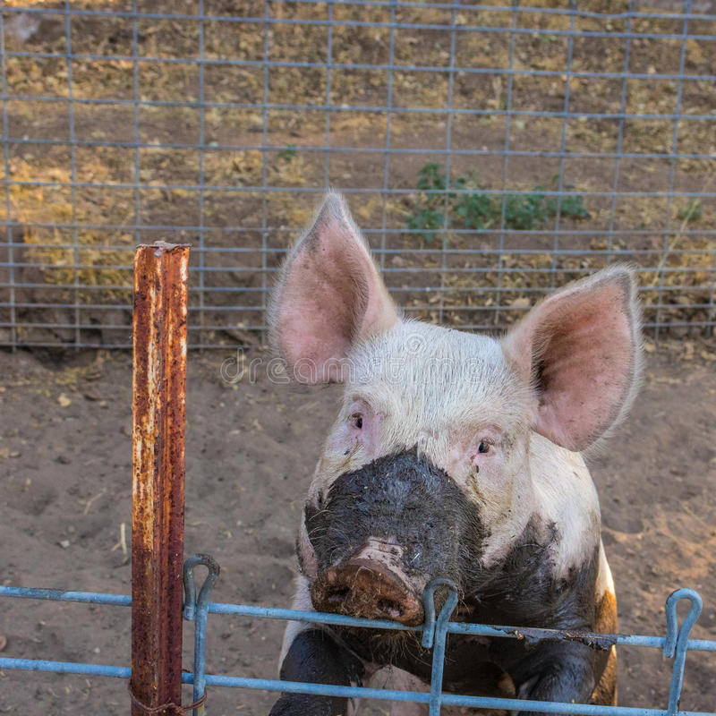 Close up head shot of sad, serious single dirty young domestic pink pig with muddy face and big ears. Close up head shot of sad, serious looking single dirty stock images