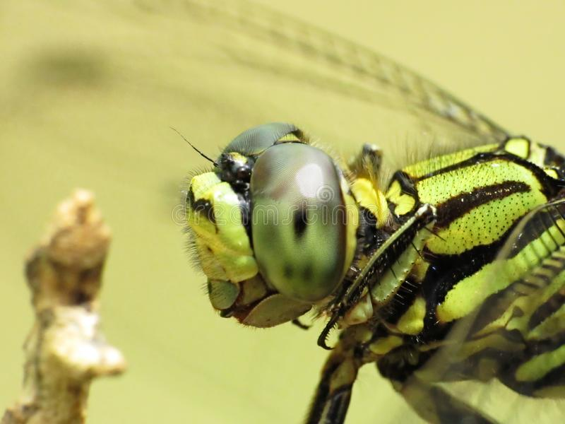 Close-up Head Shot Of A Variegated Green Skimmer. Side close-up view of the thorax and head view of a Variegated Green Skimmer dragonfly, Orthetrum Sabina. The royalty free stock photo