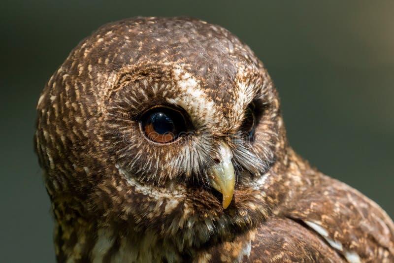 Mottled Owl Ciccaba virgata Bird of Prey stock images
