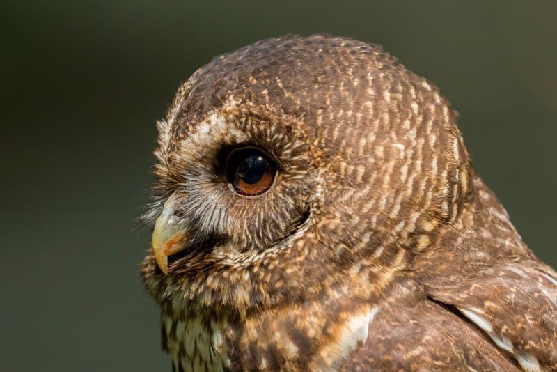 Mottled Owl Ciccaba virgata Bird of Prey royalty free stock photos