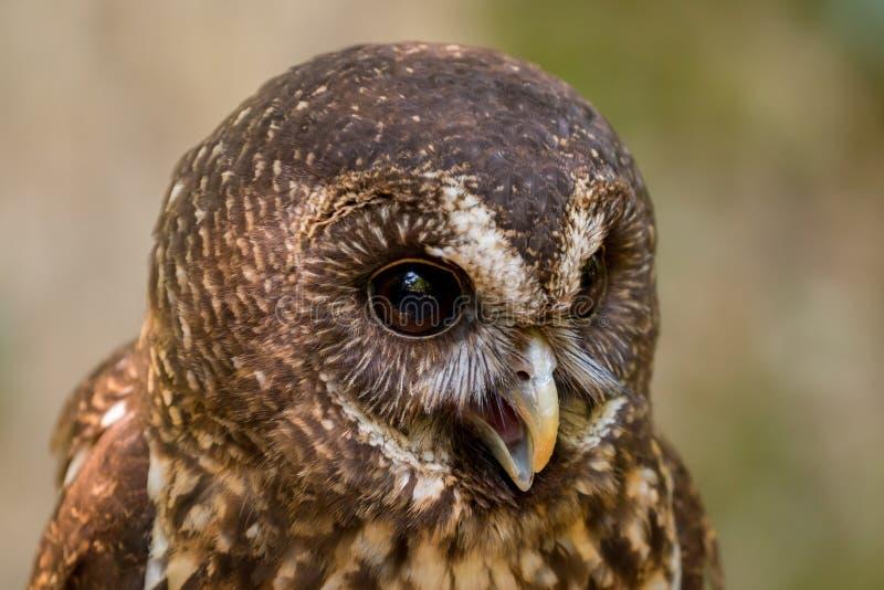 Mottled Owl Ciccaba virgata Bird of Prey royalty free stock image