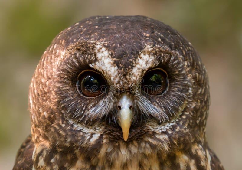 Mottled Owl Ciccaba virgata Bird of Prey royalty free stock photo