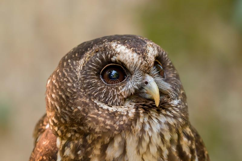 Mottled Owl Ciccaba virgata Bird of Prey royalty free stock photography