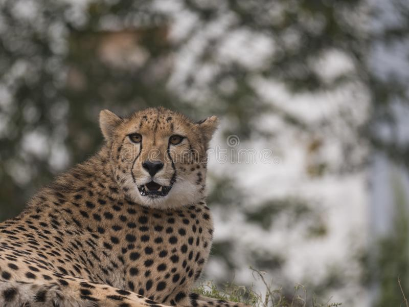 Close up head and shoulders portrait of adult Cheetah, Acinonyx jubatus resting lying on tree, green bokeh lights. Background, selective focus royalty free stock images