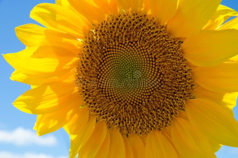 Head of sunflower stock photo