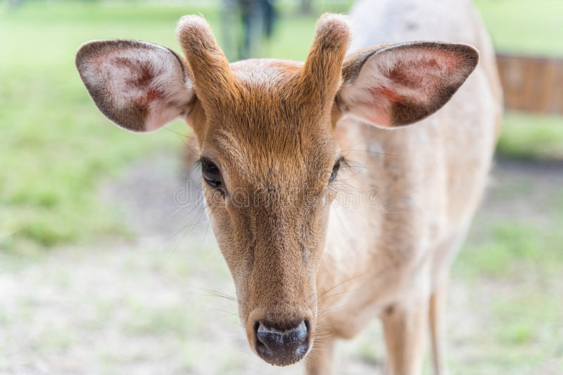 Close up head of white spot deer on green grass royalty free stock image