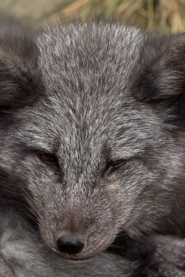 Close-up of the head of a young polar fox royalty free stock photography