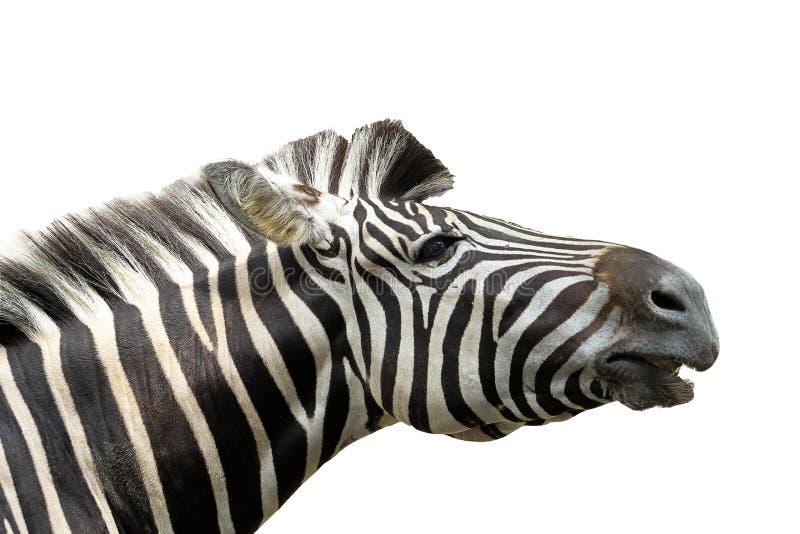 Close up head zebra on white background. Isolated, black, africa, portrait, wild, mammal, striped, animal, nature, stripes, pattern, closeup, wildlife, safari royalty free stock photos