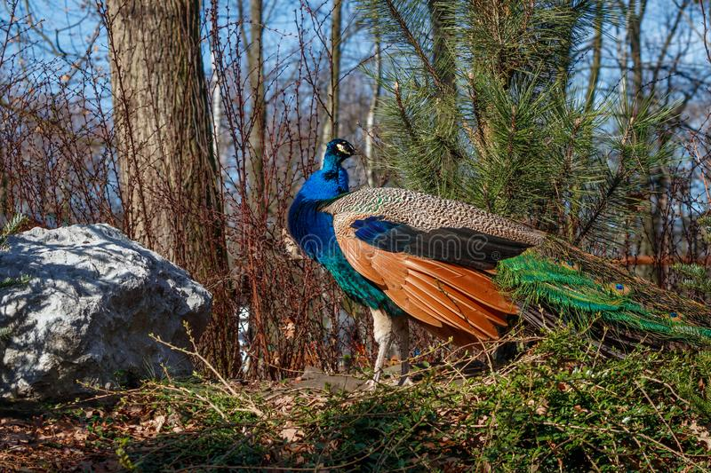 Beautiful nice colored Peafowl in park. royalty free stock photos