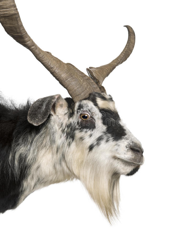 Close-up headshot of Rove goat. 5 years old, standing in front of white background royalty free stock image