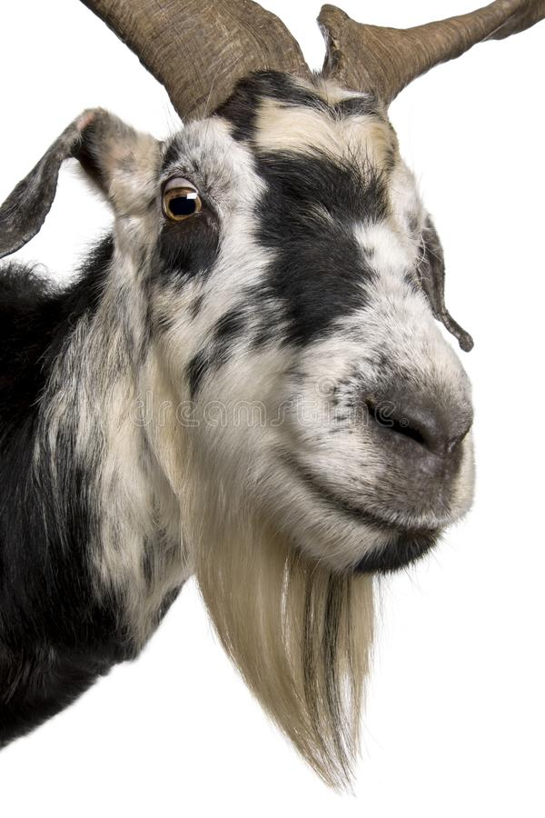 Close-up headshot of Rove goat, 5 years old royalty free stock images