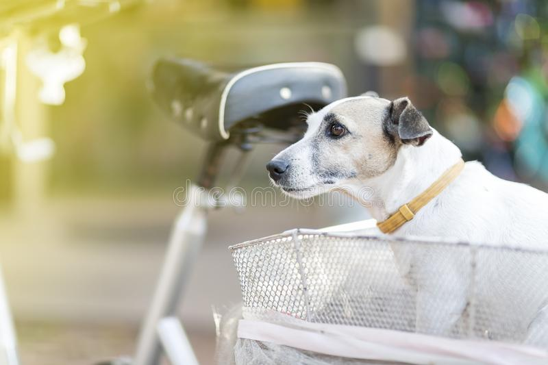 Close up healthy and happy white Dog on basket of bicycle in garden.  royalty free stock photography