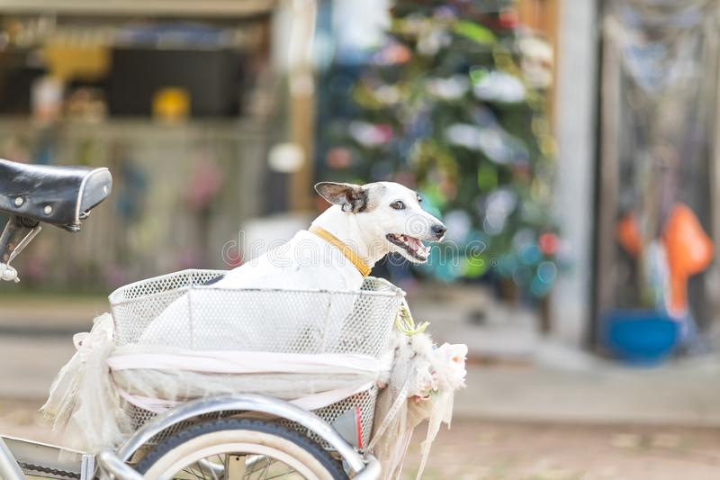 Close up healthy and happy white Dog sitting on basket of bicycle in garden on blur background.  stock photo