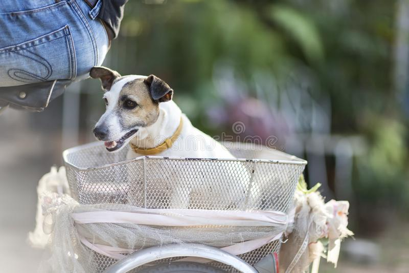 Close up healthy and happy white Dog sitting on basket of bicycle in garden on blur background.  stock photography