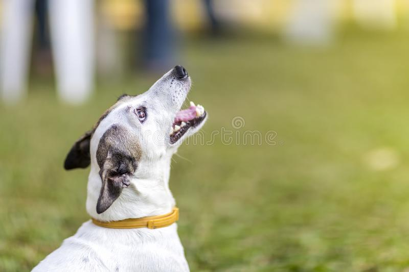 Close up healthy and happy white Dog sitting on green grass at garden on blur background royalty free stock photos