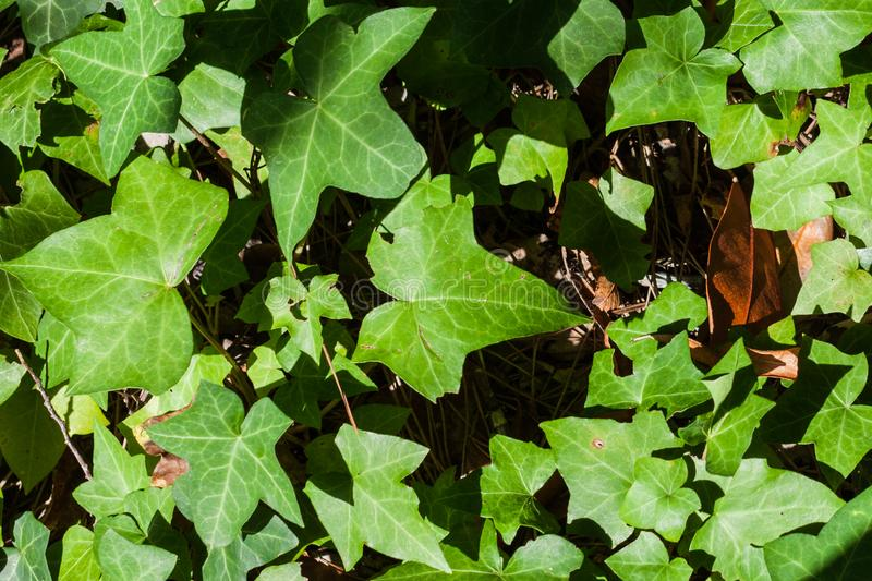 Close-up of Hedera helix or English ivy leaves. Close-up of Hedera helix or English green ivy leaves royalty free stock images
