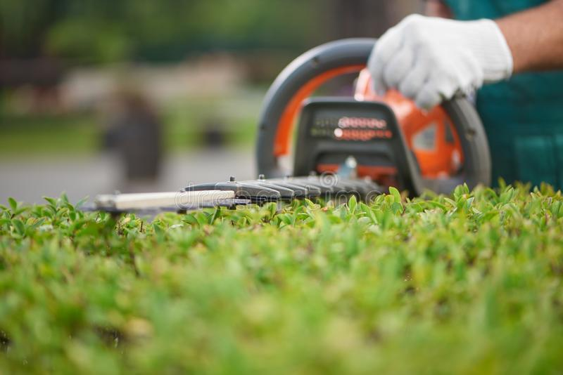 Close up of hedge trimmer cutting bushes to ideal fence. Male gardener, wearing in overalls with protective glove working with professional garden equipment in stock images