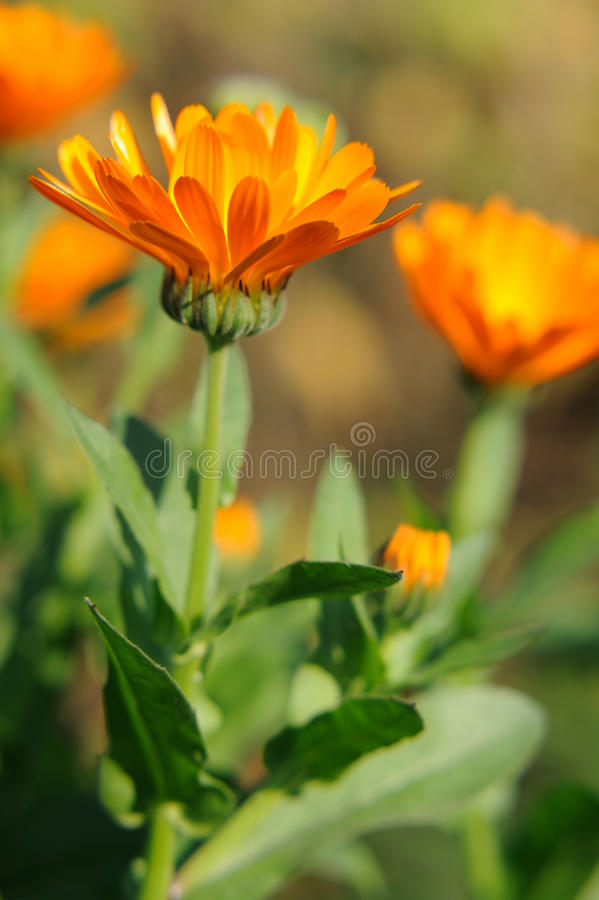 Close up herbal calendula royalty free stock photo