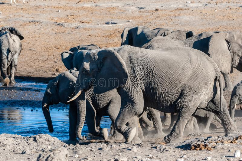 Close up of a Herd of African Elephants Bathing and Drinking in a Waterhole. A herd of African Elephants -Loxodonta Africana- bathing in a waterhole in Etosha royalty free stock images