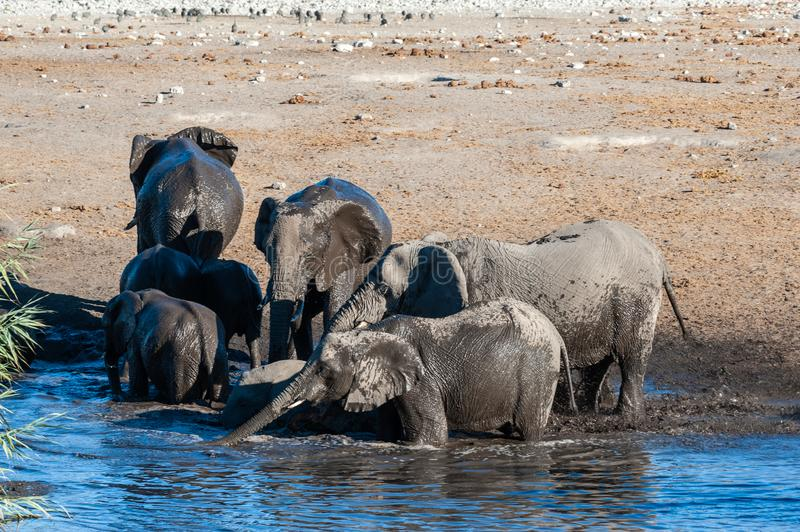 Close up of a Herd of African Elephants Bathing and Drinking in a Waterhole. A herd of African Elephants -Loxodonta Africana- bathing in a waterhole in Etosha royalty free stock photo