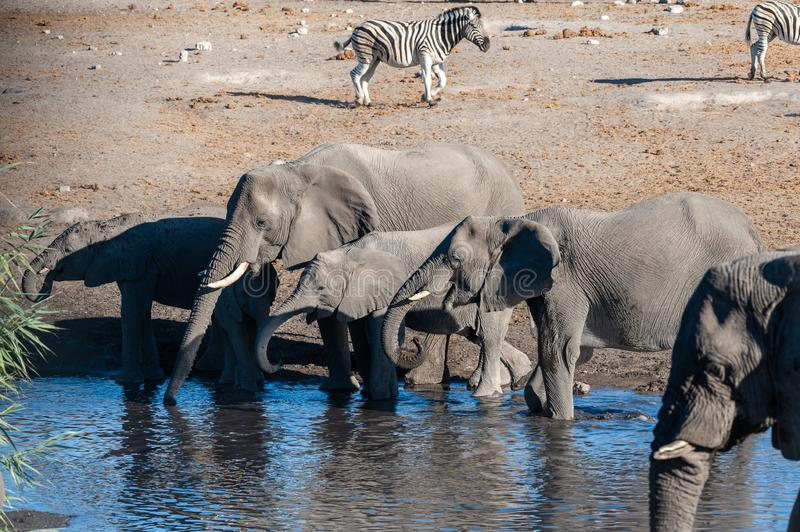 Close up of a Herd of African Elephants Bathing and Drinking in a Waterhole. A herd of African Elephants -Loxodonta Africana- bathing in a waterhole in Etosha stock photo