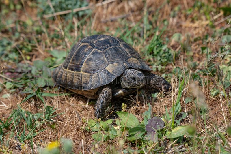Close-up of Hermann`s tortoise Testudo hermanni in nature stock photography