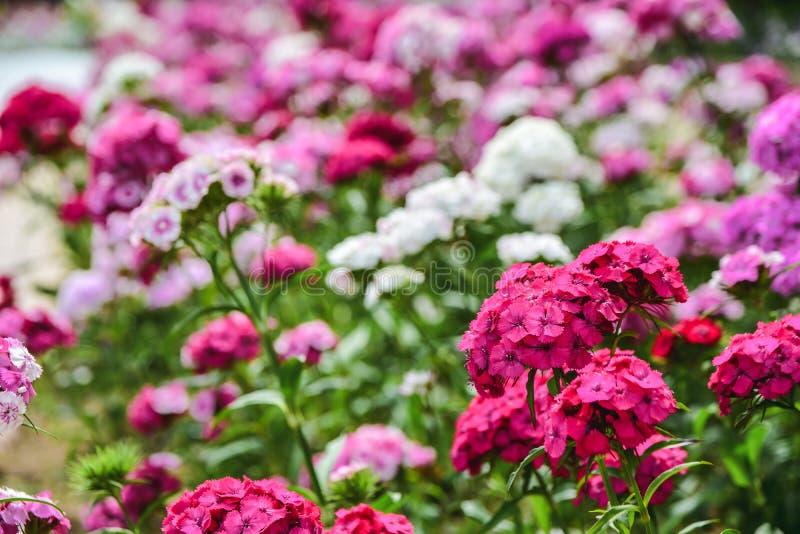 Close-up het bloeien barbatus van de bloemdianthus van de anjerglorie roze Roze en purpere bloemen royalty-vrije stock afbeeldingen