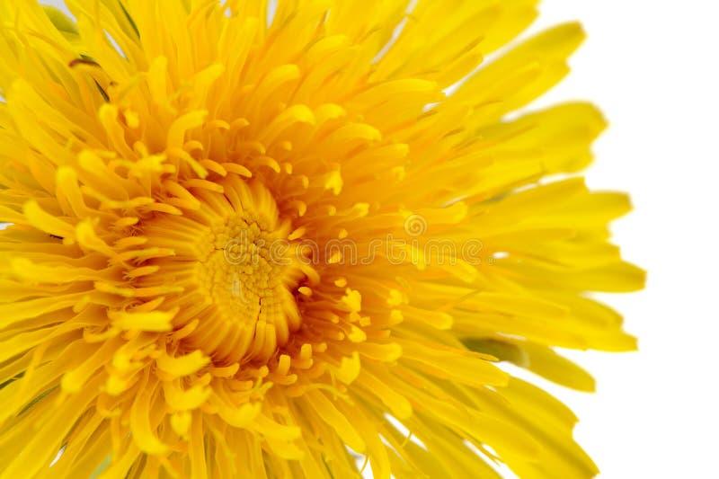 Close-up het gele van de Paardebloem (Taraxacum Officinale) Bloem op Witte Achtergrond stock foto's