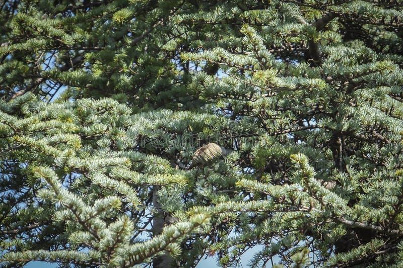 Close-up het groeien kegels op de takken van Cedar Tree Cedrus-libani of de Ceder van Libanon stock afbeeldingen