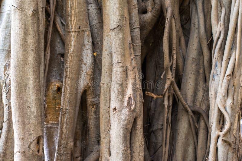 Close-up het Huilen fig.boomstam voor achtergrondtextuur stock foto