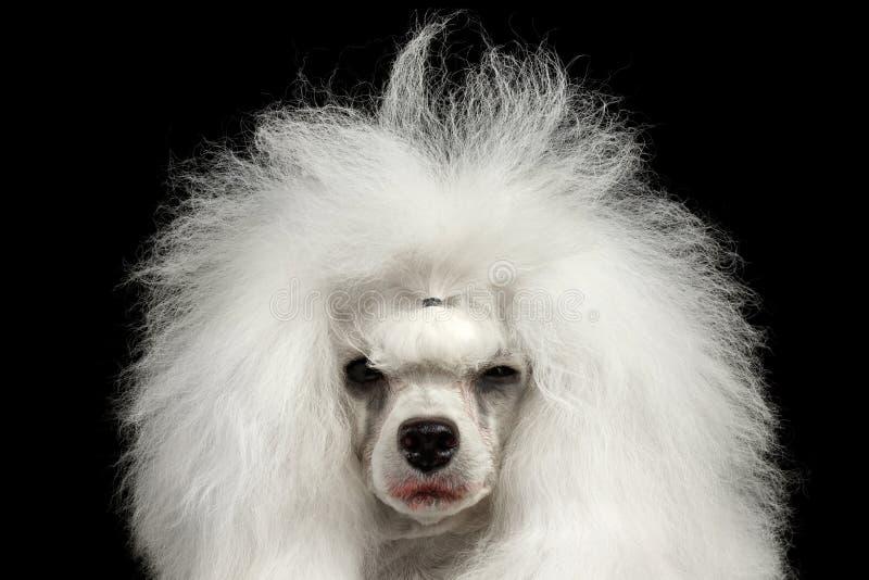 Close-up het Huilen Poedelhond Loensen die Zwarte in camera, Geïsoleerde kijken royalty-vrije stock afbeelding