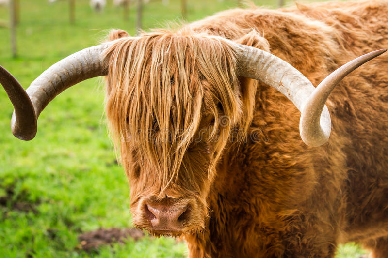 Close-up of Highland Cattle stock images