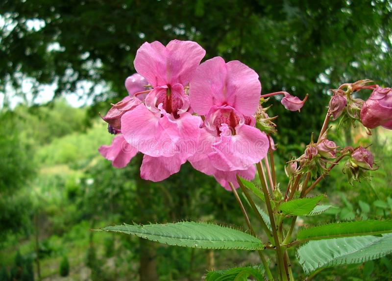 Pink flowers of a Himalayan Balsam plant. Close up of Himalayan Balsam flowers with lush greenery in the background royalty free stock photo