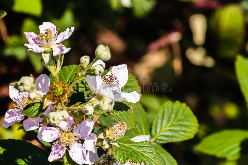 Close up of Himalayan blackberry (Rubus armeniacus) flowers blooming in south San Francisco bay area, California where is stock photos