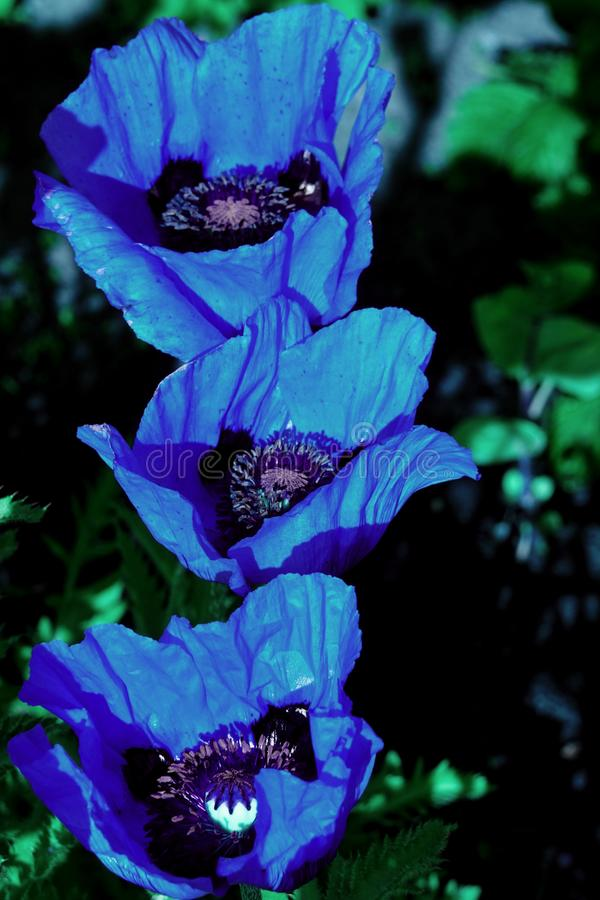 Close up of the Himalayan Blue Poppy flower royalty free stock photo