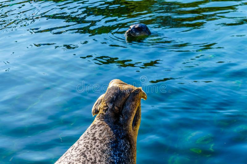 Close up of the Hind Legs of a Harbor Seal. At Neeltje Jans island, at the Delta Works Surge Barrier in the province of Zeeland in the Netherland royalty free stock photo
