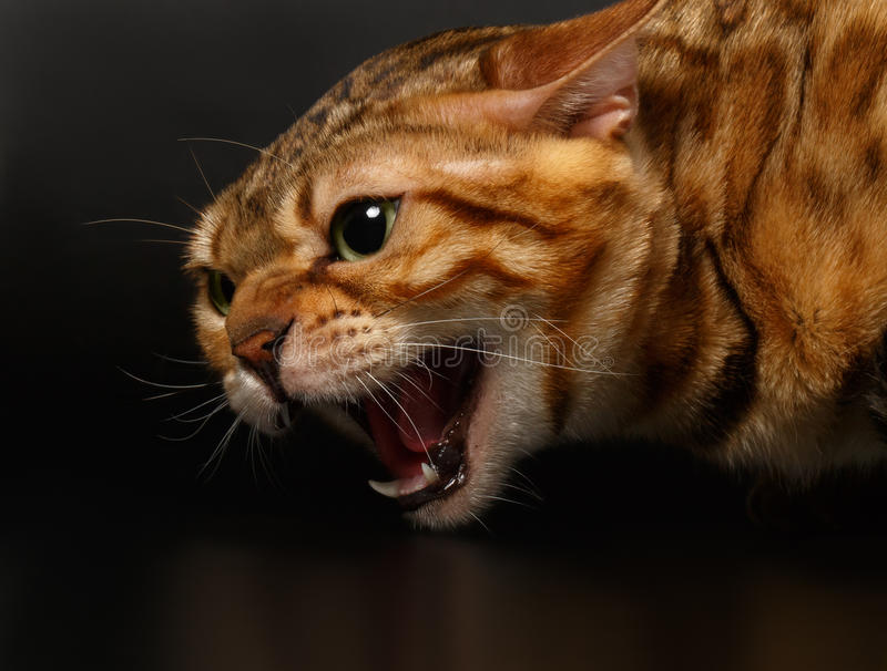 Close-up Hissing Bengal Cat on Black. Background stock photo