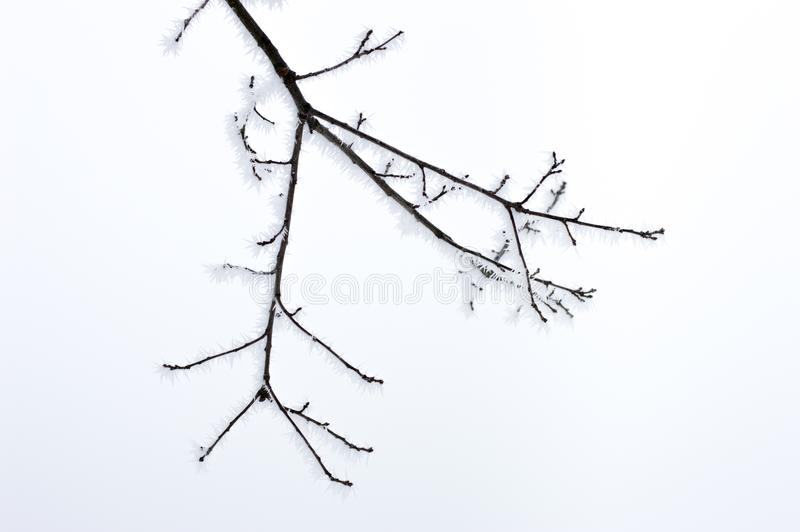 Frozen tree branch. royalty free stock image