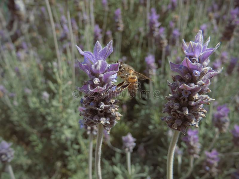 Close-up of honey bee collecting pollen from a lavender flower royalty free stock images