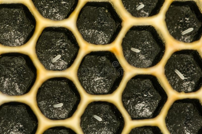 Honey Bee Eggs. A close up of Honey Bee Eggs laid in cells in the honeycomb royalty free stock image