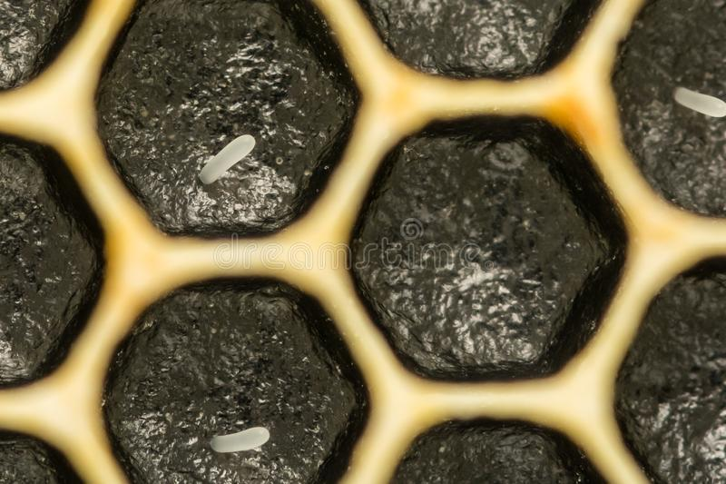 Honey Bee Eggs. A close up of Honey Bee Eggs laid in cells in the honeycomb stock image