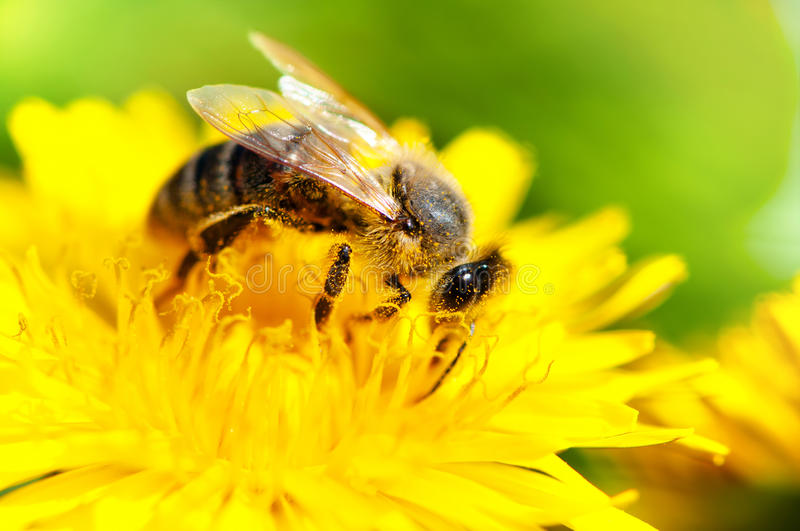 Close-up of honey bee working in a yellow summer flower, macro stock photography