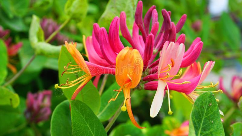 Close up Honeysuckle flowers with impressive bicolor blooms of pink and white. Lonicera periclymenum flowers. Close up Honeysuckle flowers with impressive stock photo