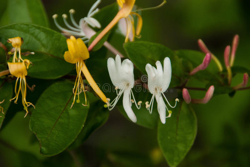 Close up of Honeysuckle-White, Gold and Purple stock photography