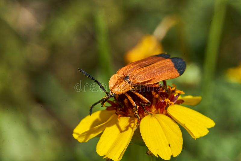 Close Up of Hooked Net-Winged Beetle Calopteron terminale on Stiff Greenthread flower. West Texas stock photo