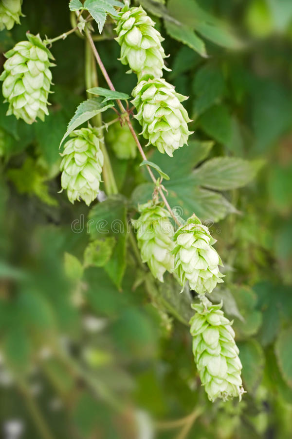 Close up of hop. (humulus lupulus), cultivated to make bier royalty free stock image