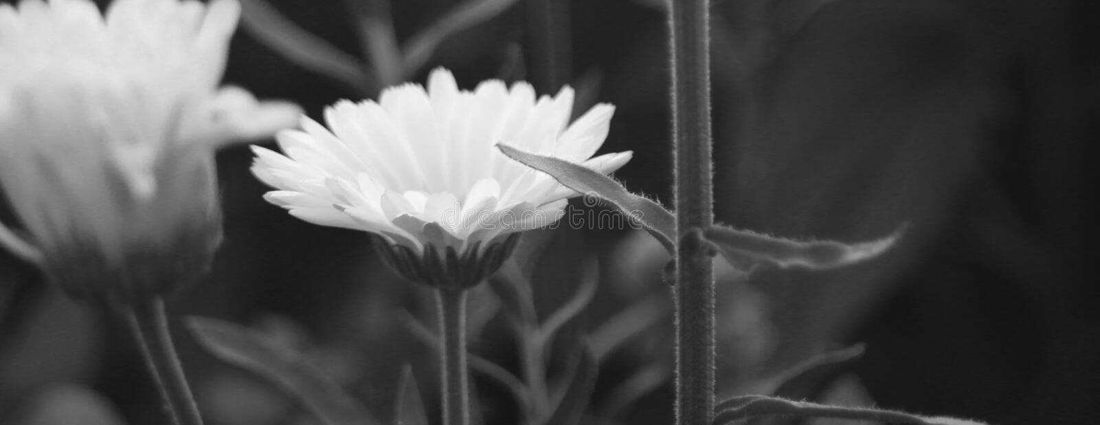A close up and horizontally elongated black and white photo of flowers, the green leaves and stems royalty free stock image