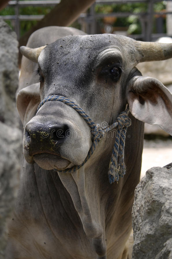Close-up of Horned Brahman Cow. Head and shoulders portrait of the sacred Bos taurus indicus Brahman Cow, with its distinctive large floppy ears and rear facing royalty free stock photo