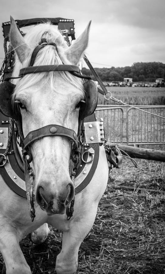 Close-up of horse. In bridle royalty free stock photos