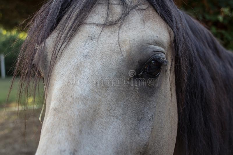 Close-up of horse eye on dun-coloured horse. Close-up of the head of a dun-coloured horse with focus on the eye royalty free stock photos